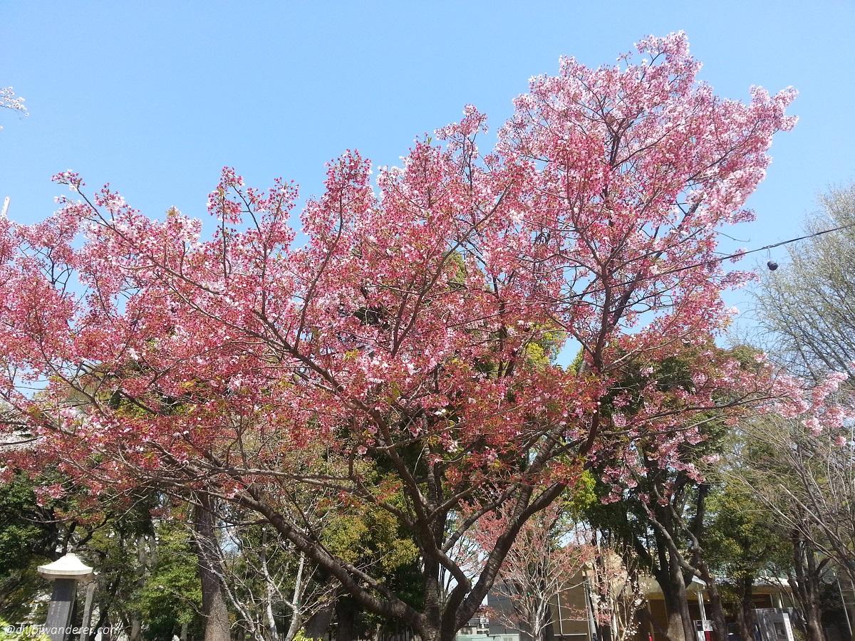Dark Pink Sakura tree in Ueno Park Japan