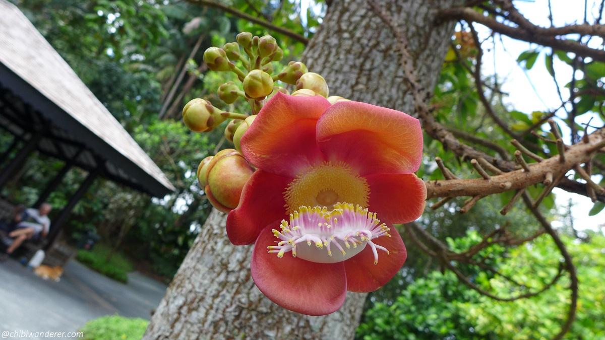 Tree flower in Botanic Garden Singapore