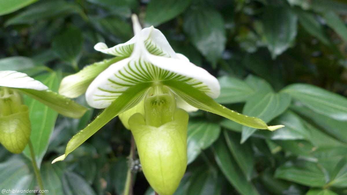 Green and white flower with tube - Botanic Garden Singapore